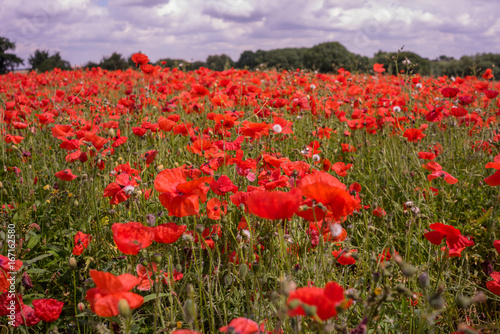 Poster Koraal Red Poppy field at late afternoon in the summertime in Leicester-shire UK