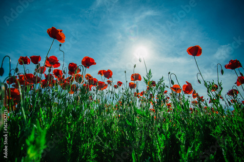 Red poppy field, remembrance day, poppy seed against the sky. Sun and flower like light bulb. Background and card with nature and flowers. Blue sky and red flowers