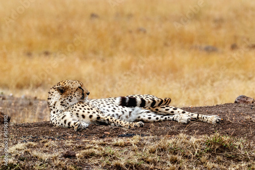 Fotobehang Overige Cheetah waking up from a nap in Africa