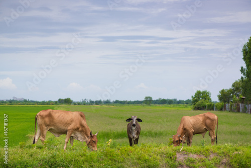 Cow eating grass or rice straw in rice field with blue sky, rural background.