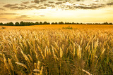 Golden wheat field and sunset sky, landscape of agricultural grain crops in harvest season, panoramic view - 167193501