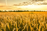 Golden wheat field, landscape of agricultural grain crops and sunset sky, panoramic vista - 167193536