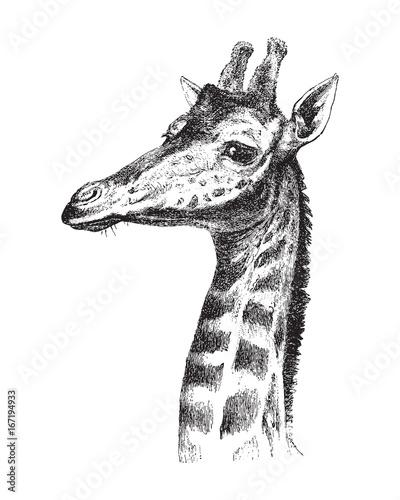 Giraffe head - vintage illustration