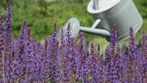 Poster Gardener Watering Purple Flowers With Watering Can