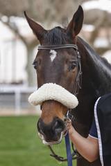 Race horse head ready to run. Paddock area.