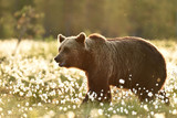 Brown bear in cotton grass at sunset in summer, Finland - 167198154