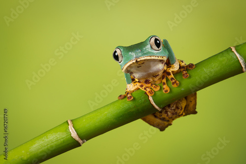 Super Tiger Leg Monkey Frog balancing on a bamboo shoot also known as the waxy tree frog