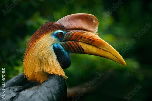 Plakat Knobbed Hornbill, Rhyticeros cassidix, from Sulawesi, Indonesia