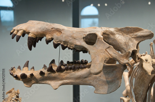 Plagát Tyrannosaurus skeleton