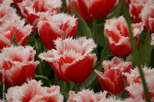 Fototapeta  Red tulips