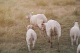 Sheeps - 167230557