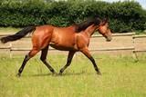 brązowy koń ma zabawę na padoku