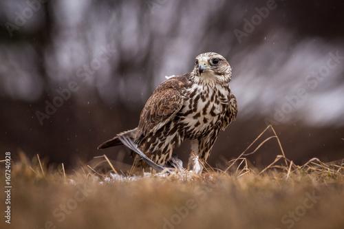 falco bird Poster