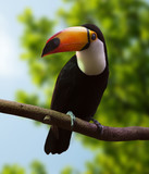 Toco Toucan  at wildness - 167251983