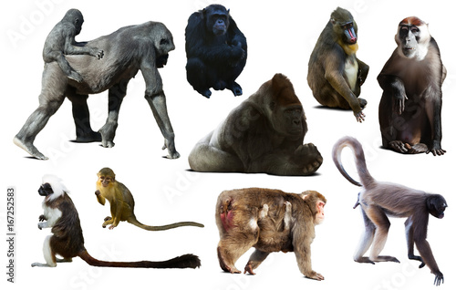 set of primates Poster