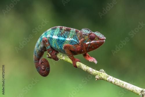 Chameleon Furcifer pardalis Ambolobe 2 lata, Madagaskar endemiczny kameleon Panther w stanie gniewnym, czysty Ambilobe (Chamaeleoninae)