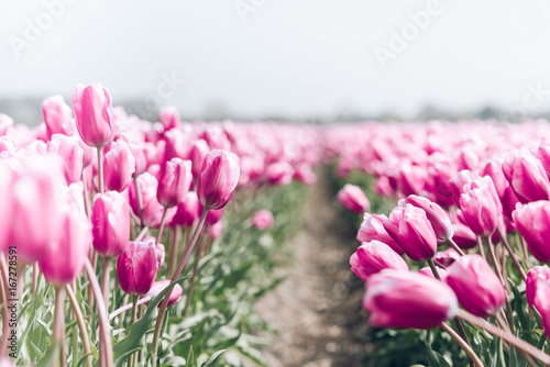 Fotobehang Tulpen Tulips field in the Netherlands