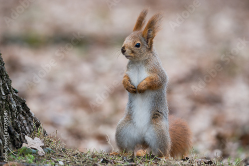 Tuinposter Eekhoorn Ordinary Fluffy Squirrel. Funny Eurasian Red Squirrel (Sciurus Vulgaris) Stands In Autumn Foliage Near A Tree And Looks Left. The Squirrel Stands, Dangling His Paws And Looking Carefully To The Left