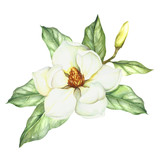 Composition with magnolia. Hand draw watercolor illustration. - 167290136