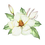 Composition with magnolia. Hand draw watercolor illustration.