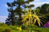art of Japanese chrysanthemum, Kyoto Japan 嵯峨菊