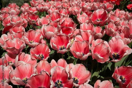 Wide Open Tulips