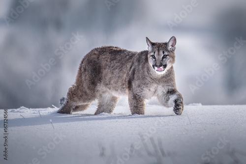 Cougar(Puma concolor Poster