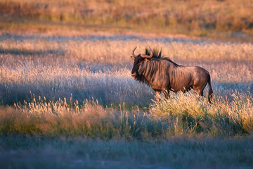 Blue wildebeest, Connochaetes taurinus, large antelope walking in dry grass at the evening in Kalahari savanna. Gnu in best light, illuminated by setting sun. Wildlife photography in Kgalagadi.
