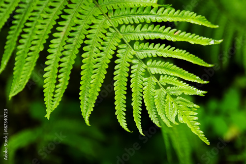 The top view on the green leaf of fern on a black-green background. - 167340723