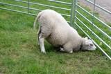 Lamb farm - 167346587