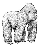 Gorilla illustration, drawing, engraving, ink, line art, vector - 167351938
