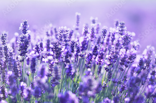 close up shot of lavender flowers - 167351986
