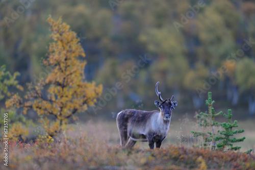 Rentier in Tundra Landschaft, Herbst
