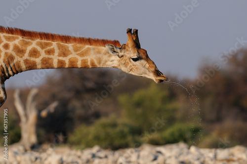 Giraffe beim trinken, Portrait, Etosha Nationalpark, Namibia