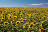 Vibrant sunflowers plant farm in sunshine day with blue sky background.