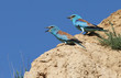 Two european rollers on the rock