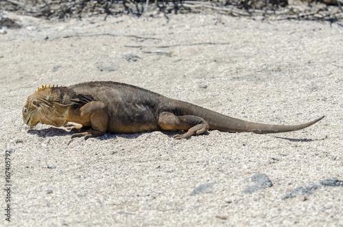 Galapagos terrestrial iguana 3 - North Seymour Island - Galapagos Islands - Ecua Poster
