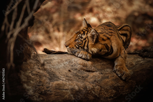 Fotobehang Leeuw Tigers in the nature habitat. Tiger cub on a fallen tree. Wildlife scene with danger animal. Hot summer in Rajasthan, India. Dry trees with beautiful indian tiger. Panthera tigris