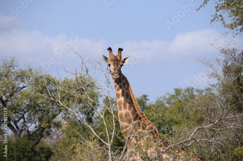 Giraffe, South Africa Poster