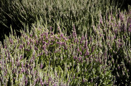 Bushes of heather