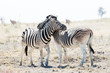 Two hugging zebras in love. Etosha national park, Namibia