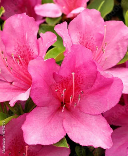 Aluminium Roze Azalea flowers