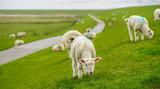 Schafe auf dem Deich - 167457318