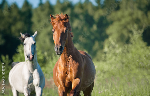 horses on freedom in forest Poster