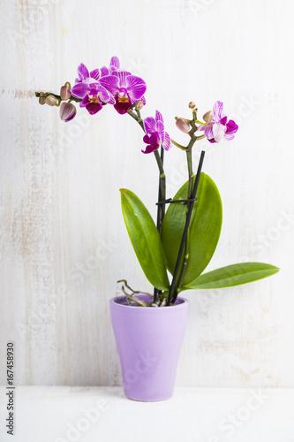 Fototapeta Orchid (Phalaenopsis )