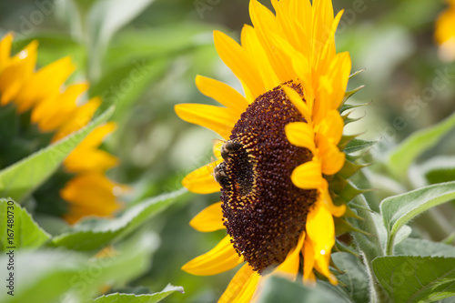 Sunflowers with bees collecting honey