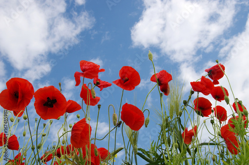Red poppies on field