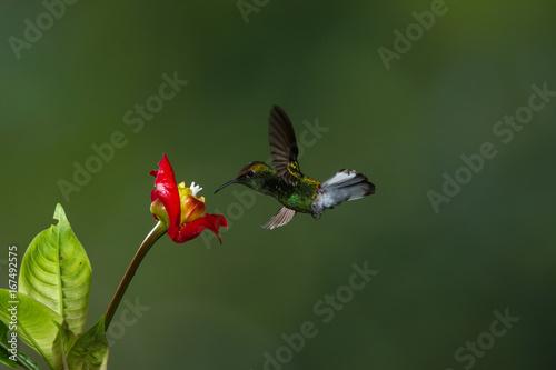Colibri, latający ptak zatrzymał się w locie