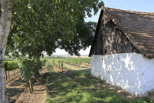 Weingärten mit Nussbaum und Presshaus