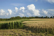 Corn and wheat fields in Minnesota on bright summer day
